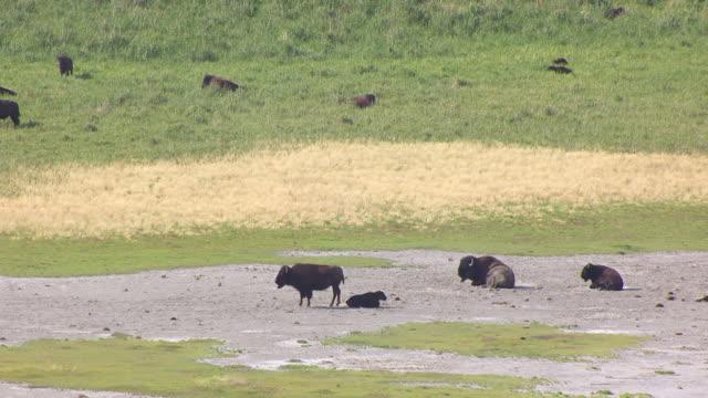 CU AERIAL ZO Shot over buffalos and farm at Great Salt lake on antelope Island / Utah, United States