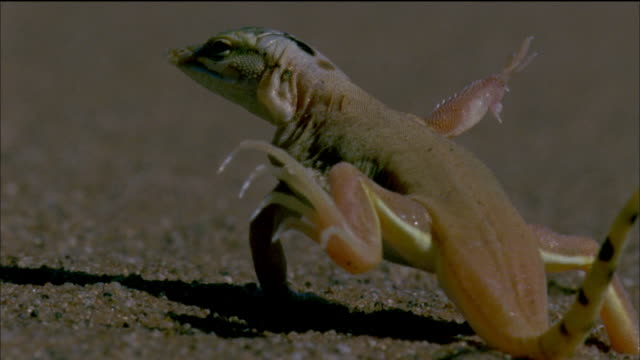 Shovel snouted lizard raising feet off of sand Available in HD.