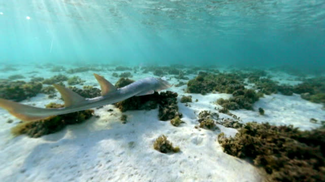 A shovel-nosed Shark on the Great Barrier Reef
