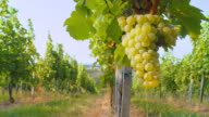HD DOLLY: Show Over White Grape Vineyard