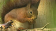 Shows exterior shots conservation workers setting traps for grey squirrels in woodland near Edinburgh and interview with Lindsay Mackinlay National...