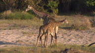 Shows exterior shots Giraffes in the wild in the Linyanti Wildlife Reserve in Africa Exterior and interior shots giraffes including baby at Dudley...