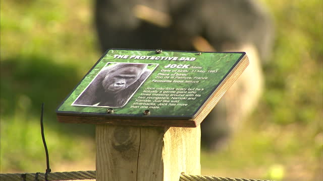 Shows exterior shots Gorilla enclosure at Bristol Zoo with gorillas sitting eating and walking around and mothers with children looking at them A...