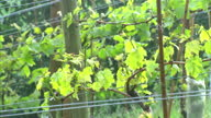 Shows exterior shots Gwinllan Conwy Vineyard in Wales owner of Vineyard Colin Bennett checking vines and people walking through vineyard on tour of...