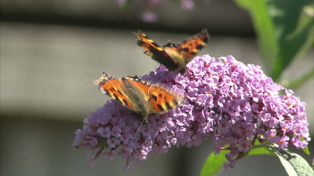 Shows exterior shots Small tortoiseshell butterflies moving around flowers on buddleia bushes in garden Interior shots butterflies in hot house...