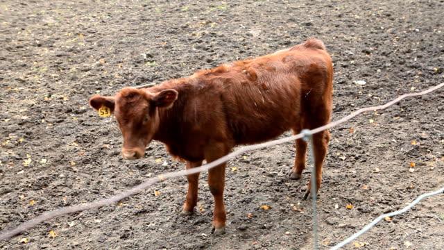Shy Calf Hanging Around on Farm