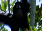 Siamang gibbon calls from rainforest canopy, Sumatra