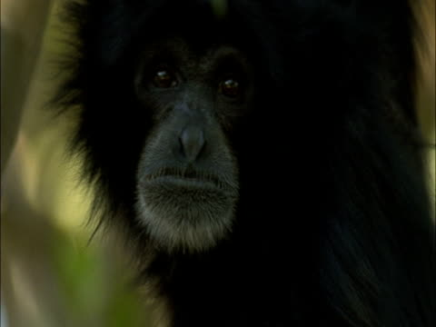 Siamang gibbon looks around in rainforest canopy, Sumatra