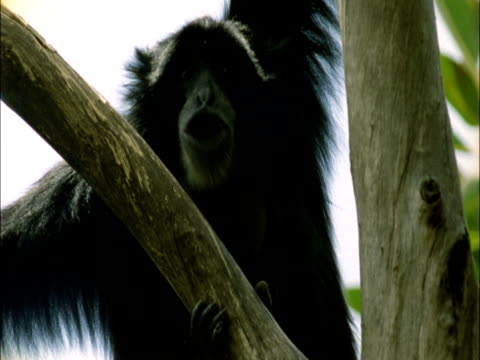 Siamang gibbons call in rainforest canopy, Sumatra