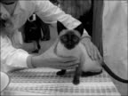 London Seymour Hall INT High angle view exhibition hall / Siamese cat taken from cage and placed on table / Judge strokes and examines cat / Judge...