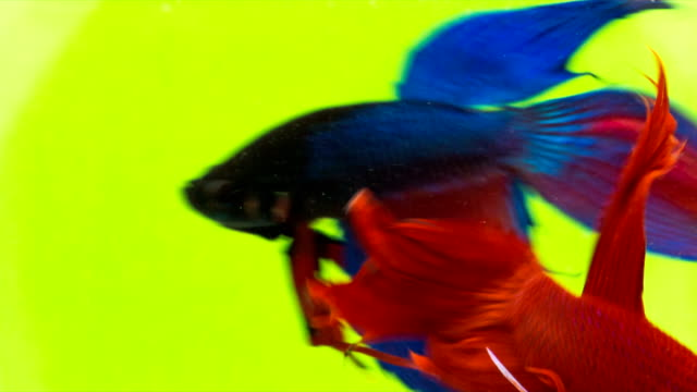 Siamese Fighting Fish (Solid reds Betta splendens) in action, Macro Video,RAW Shooting, 4K Resolution, 23.976 FPS