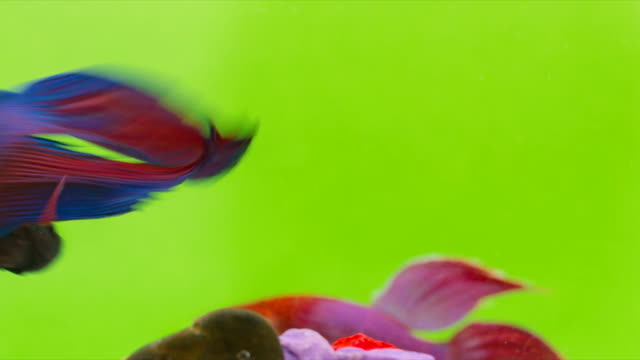 Siamese Fighting Fish (Betta splendens) swimming in a small glass bowl with multicolored piece of stone, Macro Video,RAW Shooting