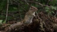 Siberian chipmunk in forest, Russia