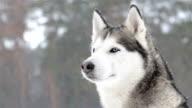 Siberian huskies during a snowfall. Close-up.