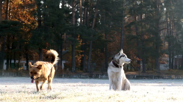 Siberian husky and brown dog on the field in the morning.