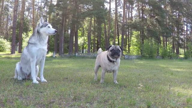 Siberian Husky und Mops. Slow-Motion.