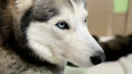 Siberian Husky close-up. The dog lies with his puppies.