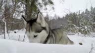 Siberian Husky eats grass in winter.