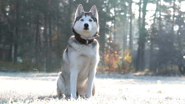 Siberian husky in a field with white grass from frost.