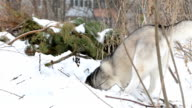 Siberian Husky is digging a pit in a snowdrift.