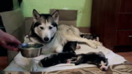 Siberian Husky lies with puppies and drinks water.