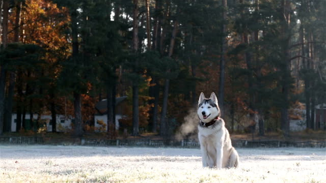 Siberian Husky on a morning walk.
