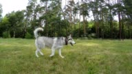 Siberian Husky running in the field.