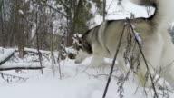 Siberian Husky saunters in park.