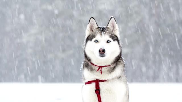 Sibirischer Husky saunters im Winter während Schnee.