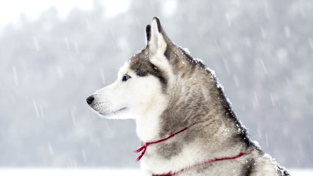 Siberian Husky saunters in the winter during a snowfall.