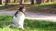Siberian husky  sits in the shade of pine trees.