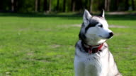 Siberian husky  sits on the green grass and looks around.