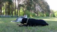 Siberian Husky takes away the toy from Labrador Retriever.