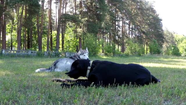 Siberian Husky nimmt das Spielzeug von Labrador Retriever.
