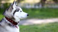 Siberian husky with blue eyes looks around.