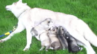 Siberian puppy eating milk