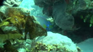 Side of coral reef w/ Queen angelfish swimming around between coral out of one patch under another