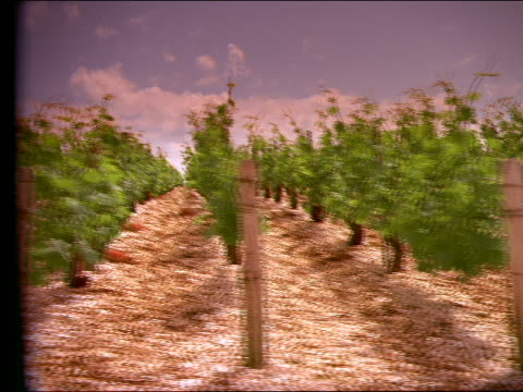 Side point of view past rows of vines in vineyard / Beines, France