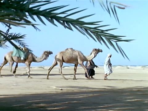 Two Arabian males walking leading camels toward Red Sea Angle On WS Two Arabian males leading camels toward Red Sea water