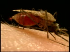 CU side view, mosquito (Anopheles gambiae) sucking blood from human arm, excreting excess