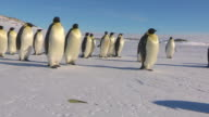WS Side POV View of Group of Emperor penguins walking and tobogganing to right on flat snow in good sunlight / Dumont D'Urville Station, Adelie Land, Antarctica