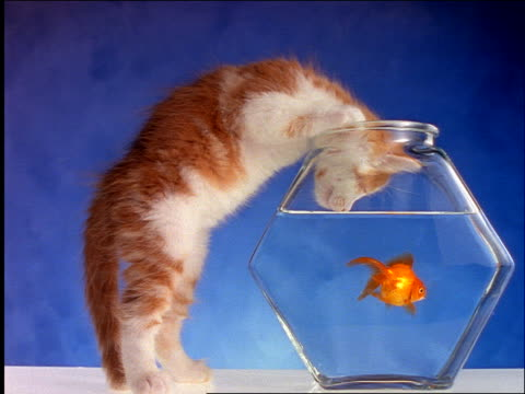 Side view of kitten sticking head into goldfish bowl