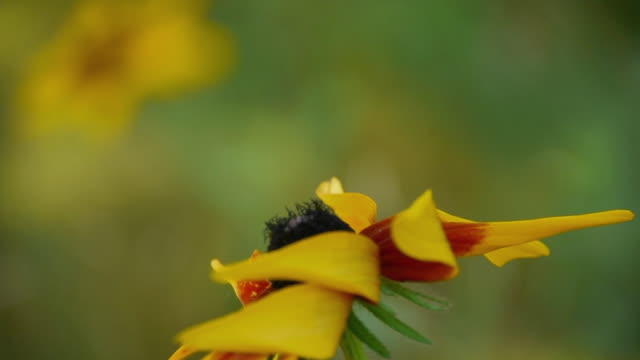 Side View, Red/Yellow wildflower next to East Branch of Penobscot River, Maine Woods