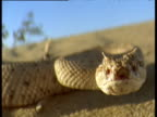Sidewinder rattlesnake hunts and pursues lizard in arid desert