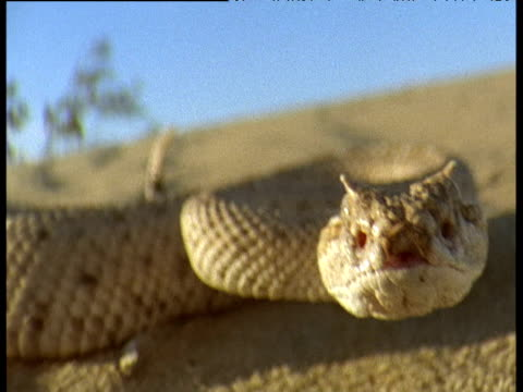 Sidewinder rattlesnake hunts and pursues lizard in arid desert