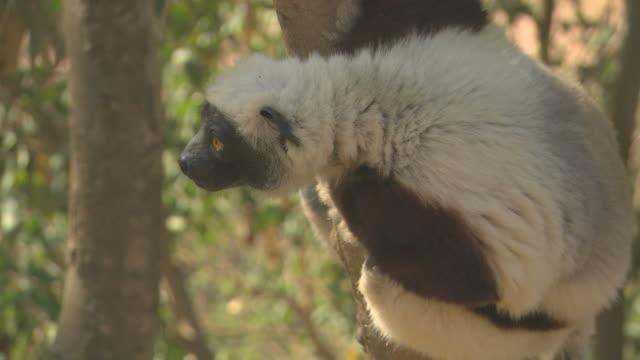 Sifaka Lemur looking HQ 4:2:2