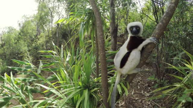 Sifaka Lemurs climbing a tree