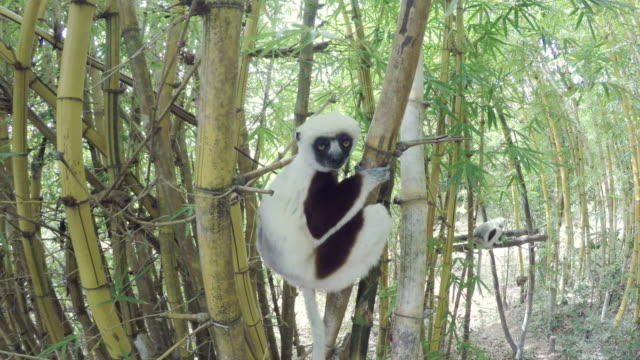 Sifakas Lemur in Madagascar forest