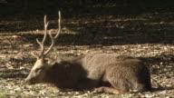 Sika Deer With Winter Pelage