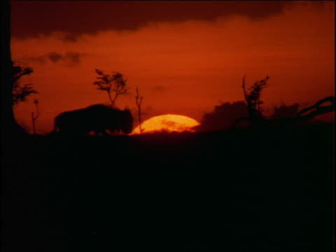 Silhouette line of wildebeests walking past camera on plain at sunset / Africa
